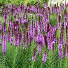 Native Gayfeather Blazing Star Liatris spicata - 80 Seeds
