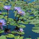 Sacred Egyptian Blue Water Lily Nymphaea Caerulea - 20 Seeds