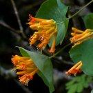 Hummingbird Western Trumpet Honeysuckle Vine Lonicera ciliosa - 20 Seeds