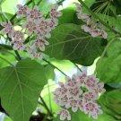 Wattakaka Milkweed Vine Dregea sinensis - 8 Seeds