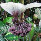 White Bat Flower Plant Tropical Tacca integrifolia - 5 Seeds