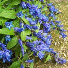 Tall Blue Willow Gentian Shrub Gentiana asclepiadea - 30 Seeds
