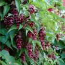 Purple Rain Shrub Honeysuckle Leycesteria formosa - 20 Seeds