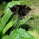 Black Bat Flower Plant Tropical Tacca chantrieri - 8 Seeds