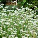 Organic Buckwweat Fagopyrum esculentum - 500 Seeds