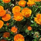 Organic Orange Calendula Flowers Calendula officinalis -100 Seeds