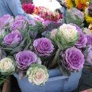 Ornamental Kale Cutflower Cabbage Mix Brassica oleracea - 20 Seeds
