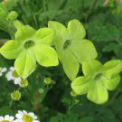 Beautiful Chartreuse Lime Green Trumpets Nicotiana alata - 100 Seeds