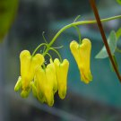 Rare Yellow Bleeding Heart Vine Dicentra scandens - 25 Seed