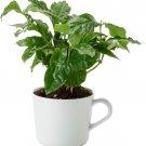 Potted Coffee Plant Coffea Arabica - 1 Live Plant in Mug