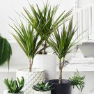Potted House Plant Dragon Tree Dracaena Marginata - 1 Live Plant