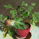 Cuttings! Assorted Fruiting Fig for Bonsai Ficus carica - 6 Unrooted Cuttings