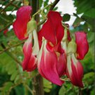 Scarlet Hummingbird Tree Corkwood Sesbania Grandiflora - 10 Seeds