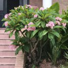 Cuttings! Pua Melia Plumeria Frangipani Pink - 2 Unrooted Cuttings