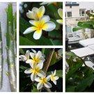 Purge - Plumeria Frangipani Cuttings Assorted