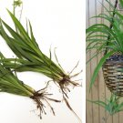 Purge - Jade Green Spider Plant Chlorophytum Bundle Bare Root