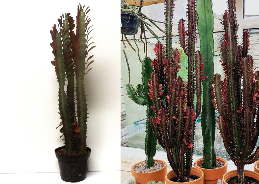 Purge - Potted Red African Milktree Leafy Succulent Euphorbia trigona rubra 15 Inches Tall