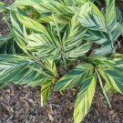 Live Plant Rooted Variegated Shell Ginger Alpinia zerumbet  - 1 Live Plant