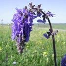 Cold Hardy Blue Nodding Sage Rare Salvia nutans - 15 Seeds