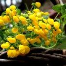 Capachito Bush Slipperwort Calceolaria integrifolia - 20 Seeds