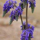 Cold Hardy Blue Pendulant Sage Rare Salvia nutans - 15 Seeds