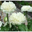 Snow White Peony Poppy Papaver Paeoniflorum - 100 Seeds