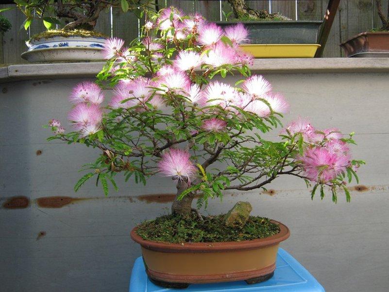 Bonsai Southern Mimosa Silk Tree Albizia julibrissin - 15 Seeds