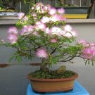 Bonsai Southern Mimosa Silk Tree Albizia julibrissin - 15 Seeds