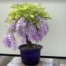 Bonsai Chinese Wisteria Wisteria sinensis - 5 Seeds