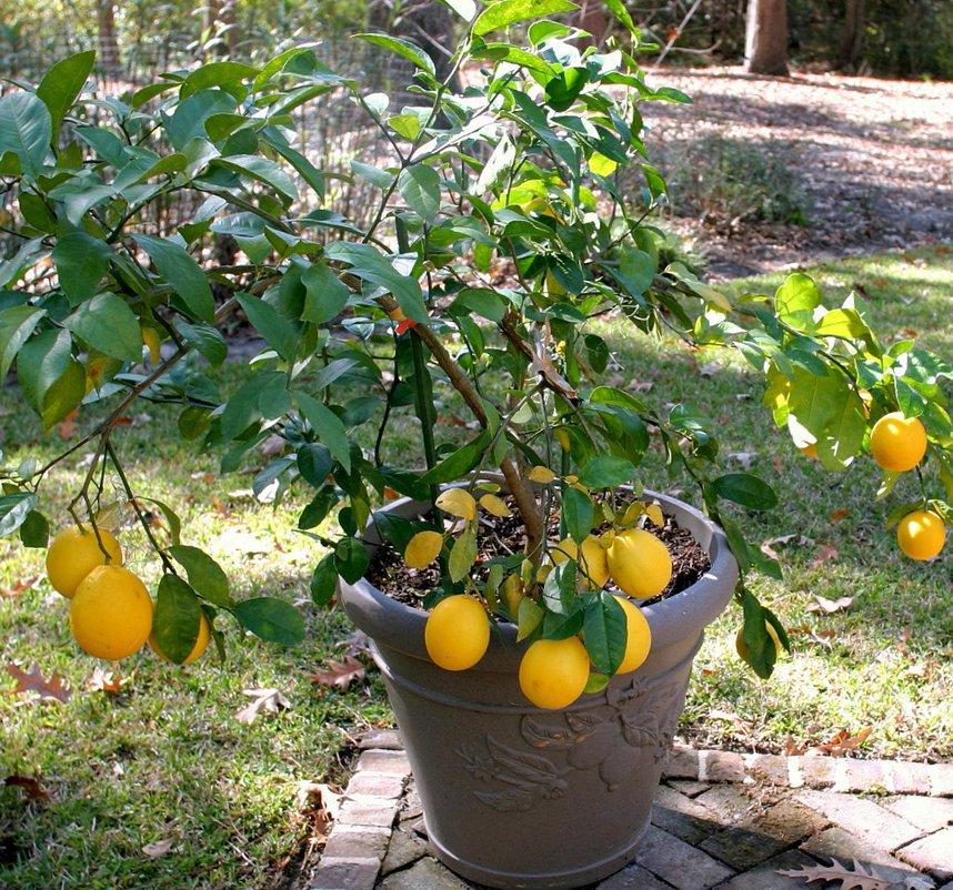 Season Special! Meyer Lemon Citrus Meyeri Large Fruited - 20 Seeds