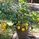 Season Special! Meyer Lemon Citrus Meyeri Large Fruited - 10 Seeds