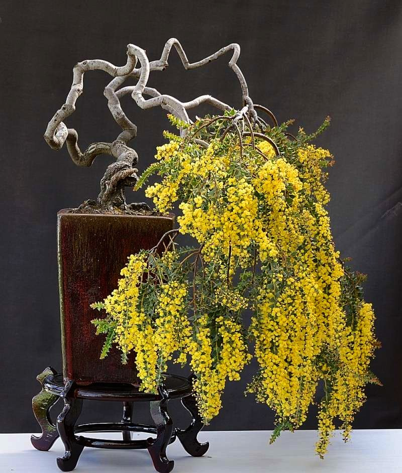 Bonsai Bright Yellow Mimosa Silver Wattle Acacia dealbata - 15 Seeds