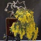Bonsai Bright Yellow Mimosa Silver Wattle Acacia dealbata - 15 Seeds