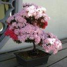 Bonsai Royal Azalea Mixed Rhododendron schlippenbachii - 20 Seeds