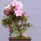 Bonsai Korean Azalea Rhododendron Yedoense - 20 Seeds