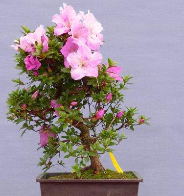 Bonsai Korean Azalea Rhododendron Yedoense 20 Seeds