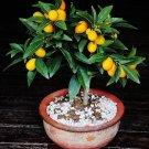 Bonsai Kumquat Mini Orange Citrus japonica - 5 Seeds