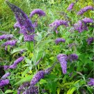 Purple Buddleia Butterfly Bush Buddleja davidii - 100 Seeds