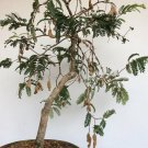 Bonsai Tamarind Tamarindus indica - 8 Seeds