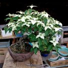 Bonsai White Dogwood Cornus Kousa  - 20 Seeds