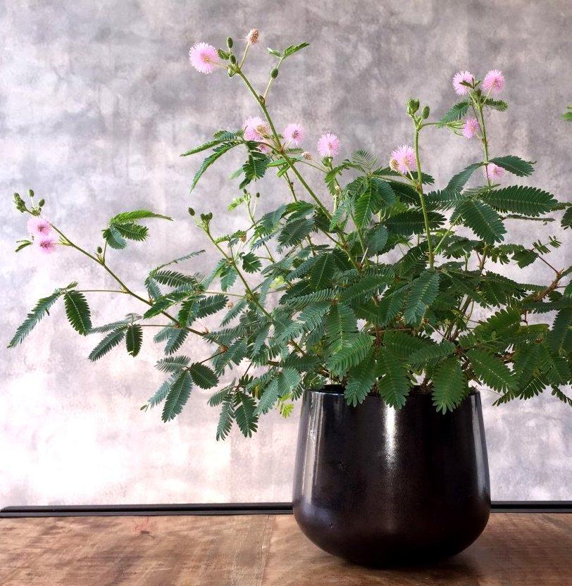 Bonsai Sensitive Plant Shy or Shame Plant Mimosa Pudica - 25 Seeds