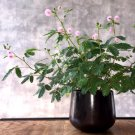 Bonsai Sensitive Plant Shy or Shame Plant Mimosa Pudica - 25 Seeds