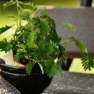 Novelty Sensitive Plant Bashful Plant Mimosa Pudica - 25 Seeds