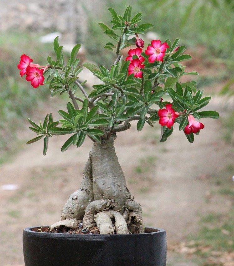 Bonsai Mixed Desert Rose Adenium - 8 Seeds