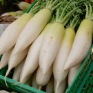 Giant Asian Daikon White Radish Raphanus sativus - 150 Seeds