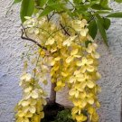 Bonsai Gold Shower Tree Cassia fistula - 8 Seeds