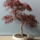 Bonsai Red Fringed Japanese Maple Acer Palmatum Dissectum - 20 Seeds