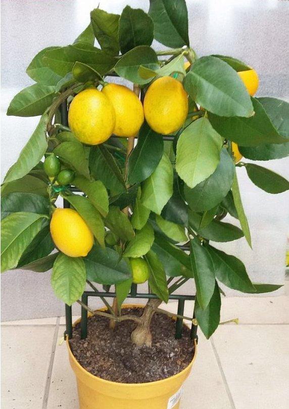 Bonsai Dwarf  'Meyer' Lemon Citrus Meyeri -  15 Seeds