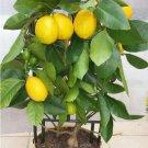 Bonsai Dwarf  'Meyer' Lemon Citrus Meyeri -  10 Seeds