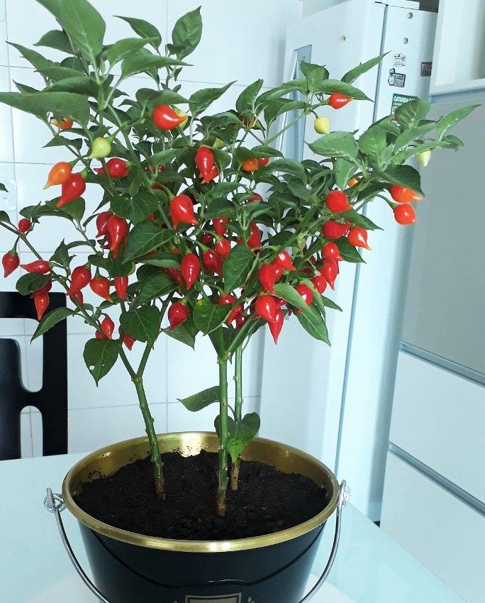 """Biquinho Pepper """"Little Beak"""" Seeds 20 Seeds"""